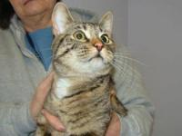 Domestic Short Hair - Mauie - Small - Adult - Female -