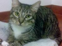 Domestic Short Hair - Maya - Small - Young - Female -