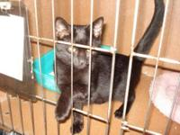 Domestic Short Hair - Midnight - Small - Adult - Female