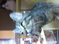 Domestic Short Hair - Mila - Medium - Young - Female -