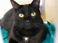 Domestic Short Hair - Milo - Medium - Young - Male -