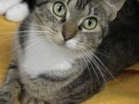Domestic Short Hair - Mischief - Small - Young - Female