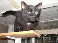 Domestic Short Hair - Moh - Medium - Adult - Male -