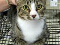 Domestic Short Hair - Mr Tubbs - Medium - Young - Male