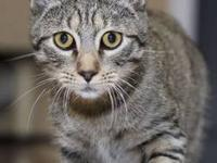 Domestic Short Hair - Muffin & 4 Kittens - Medium -