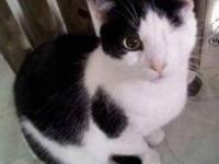 Domestic Short Hair - Nell - Small - Adult - Female -