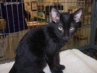 Domestic Short Hair - Oliver - Small - Baby - Male -