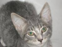 Domestic Short Hair - Ollie - Medium - Young - Female -
