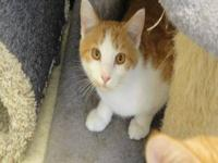 Domestic Short Hair - Orange and white - Parker - Small