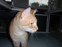 Domestic Short Hair - Orange and white - Rascal -