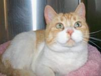 Domestic Short Hair - Orange and white - Sally - Small