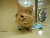 Domestic Short Hair - Orange - Baby - Large - Adult -