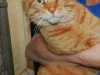 Domestic Short Hair - Orange - George - Large - Adult -
