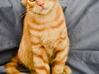 Domestic Short Hair - Orange - Grayson - Medium - Young