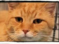 Domestic Short Hair - Orange - Morris - Large - Adult -