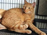 Domestic Short Hair - Orange - Oscar - Small - Baby -