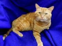 Domestic Short Hair - Orange - Thommy - Medium - Adult