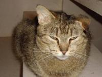 Domestic Short Hair - Paige - Medium - Young - Female -