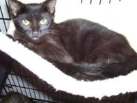 Domestic Short Hair - Panther - Small - Baby - Male -