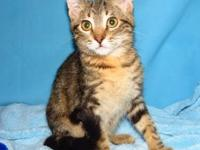 Domestic Short Hair - Peanut - Large - Young - Female -