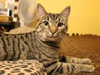 Domestic Short Hair - Perdido - Large - Young - Male -