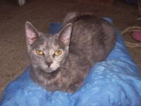 Domestic Short Hair - Petunia - Medium - Adult - Female