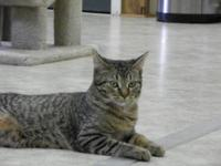 Domestic Short Hair - Piper - Medium - Young - Male -