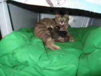 Domestic Short Hair - Pippin - Medium - Young - Female
