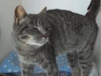 Domestic Short Hair - Quinn - Small - Adult - Female -