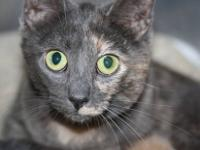 Domestic Short Hair - Quinn - Small - Young - Female -