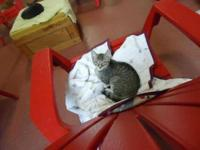 Domestic Short Hair - Ray - Small - Young - Female -