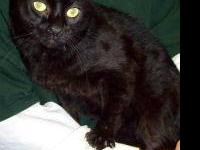 Domestic Short Hair - Salem 1 - Medium - Adult - Male -