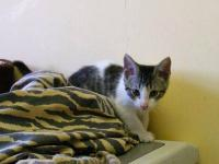 Domestic Short Hair - Sammy - Small - Baby - Male -