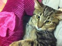 Domestic Short Hair - Sanchez - Small - Young - Male -