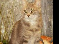 Domestic Short Hair - Saturn - Medium - Adult - Female