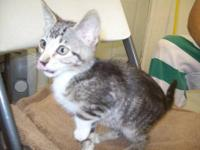Domestic Short Hair - Scampy - Small - Young - Male -