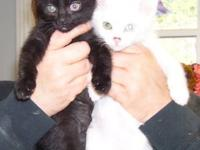 Domestic Short Hair - Scooter - Small - Baby - Male -