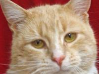 Domestic Short Hair - Seamus - Medium - Adult - Male -