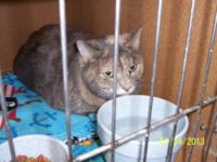 Domestic Short Hair - Sheba - Large - Adult - Female -