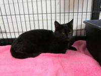 Domestic Short Hair - Sheba - Small - Adult - Female -