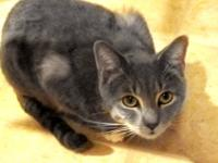 Domestic Short Hair - Sheldon - Medium - Young - Male -