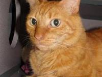 Domestic Short Hair - Simba - Declawed - Large - Adult