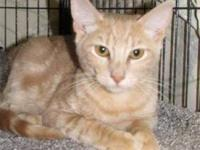 Domestic Short Hair - Simka - Medium - Young - Male -