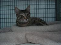 Domestic Short Hair - Siren - Medium - Adult - Female -