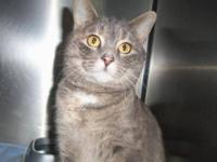 Domestic Short Hair - Snickers - Medium - Adult -