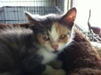 Domestic Short Hair - Sophie - Small - Young - Female -