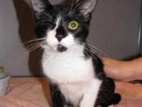 Domestic Short Hair - Sparrow - Kitten - Medium - Young