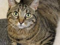 Domestic Short Hair - Spice - Medium - Adult - Female -