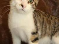 Domestic Short Hair - Stelios - Small - Young - Male -