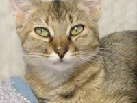 Domestic Short Hair - Sugar - Small - Young - Female -